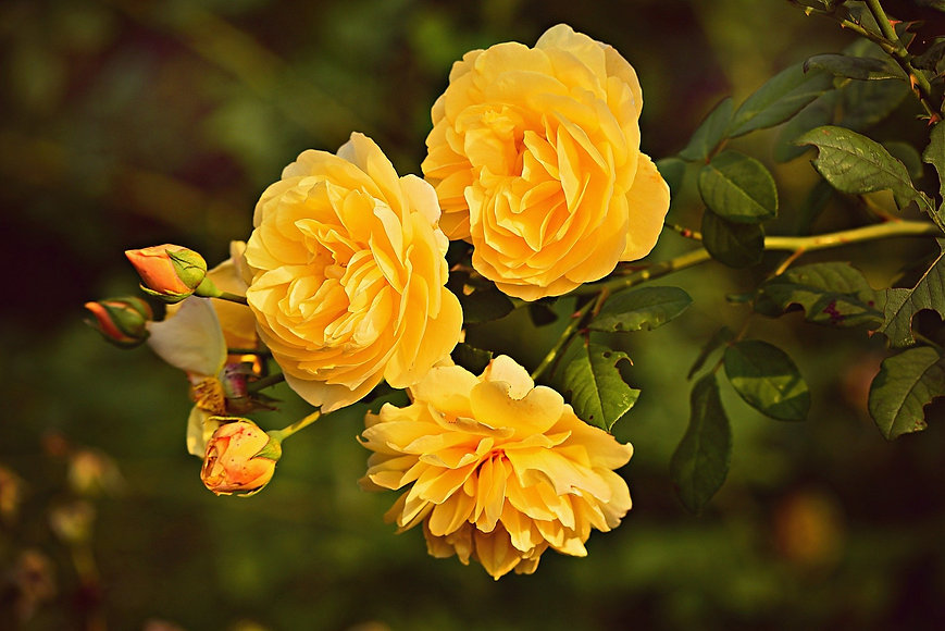 yellow-rose-3865041_1920.jpg