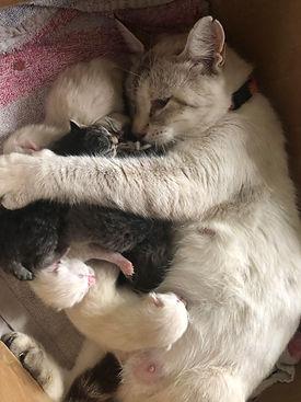 cat pregnancy.jpg