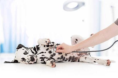 surgery dalmatian.jpg