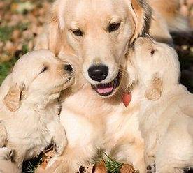 Retriever_mom_and_pups.jpg