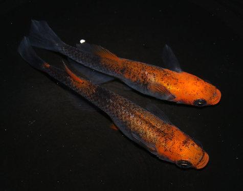 来光 1ペア(メスヒカリ体型)若魚