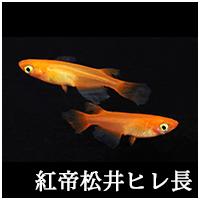紅帝松井ヒレ長トップ.png