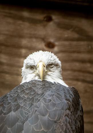 Weißkopf Seeadler