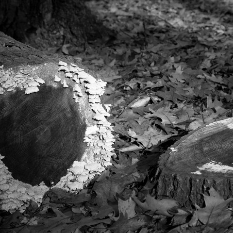 Black and White Fallen Tree