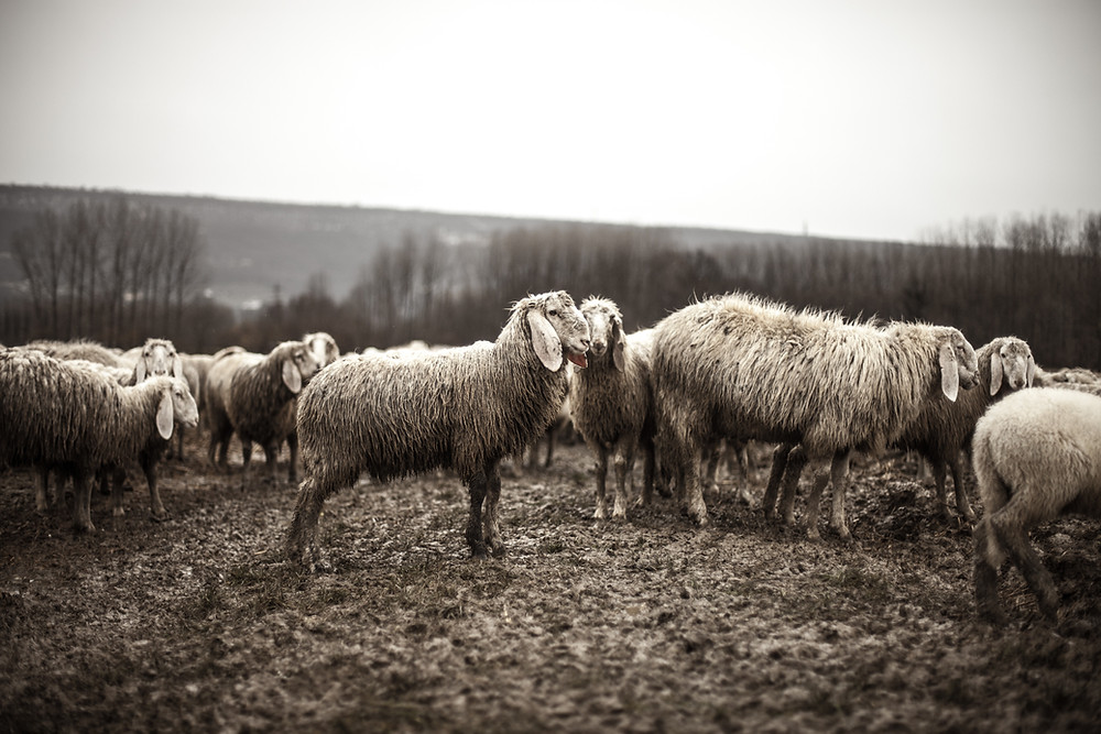 Sheep in a muddy field, origin of to make buttons