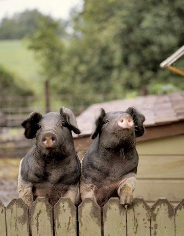 English Saddleback Pigs