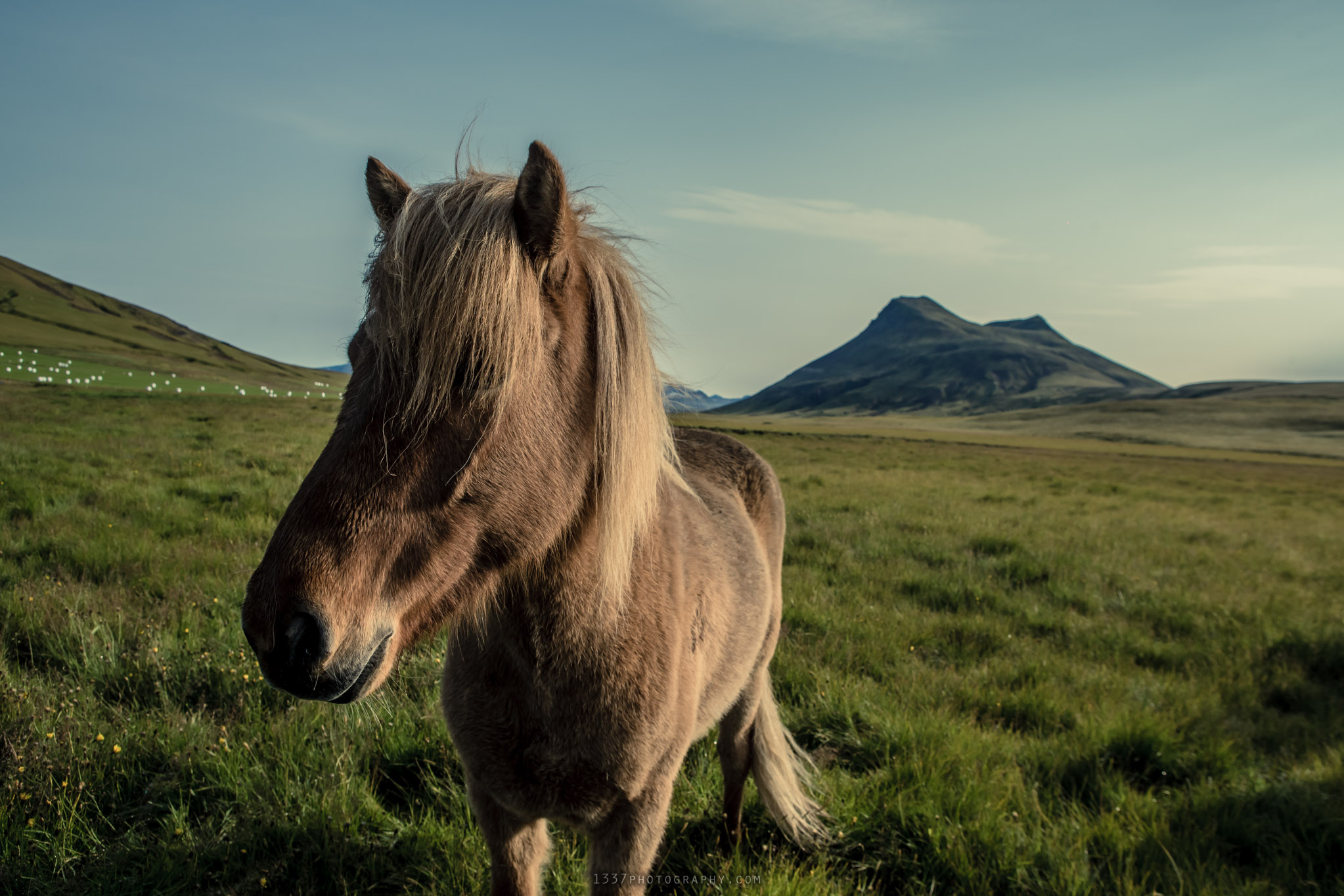 Icelantic horse