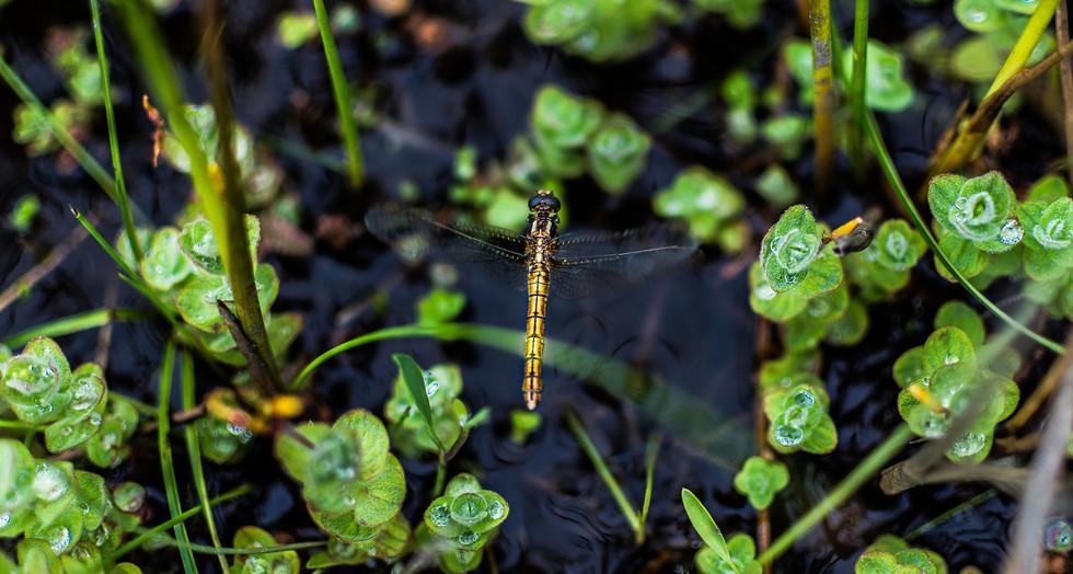 Dragonfly at Kinard