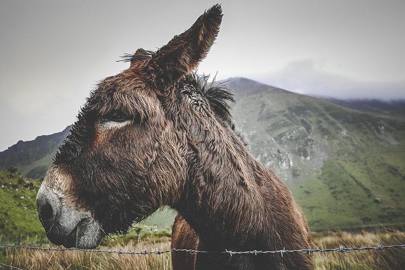 Donkey @ Annascaul Lake - Print