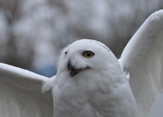 Monsieur, l'harfang des neiges