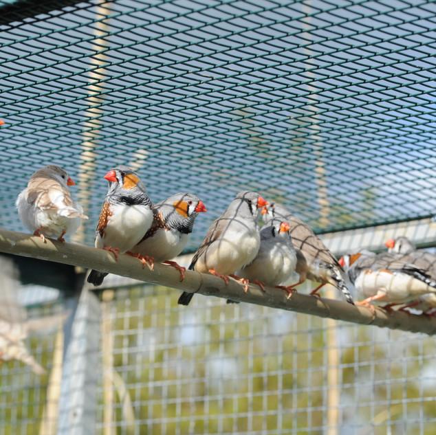 Oiseaux de volières