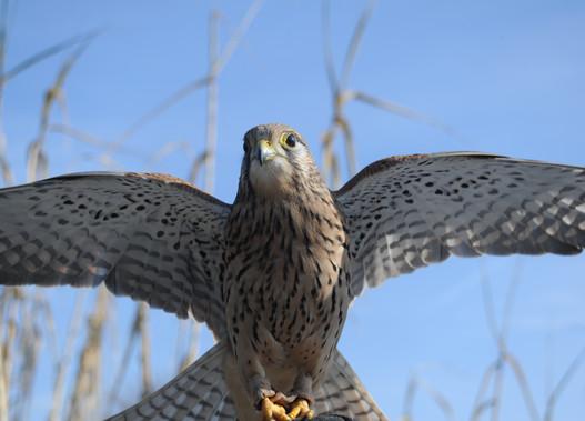 Bacchus, le faucon crécerelle