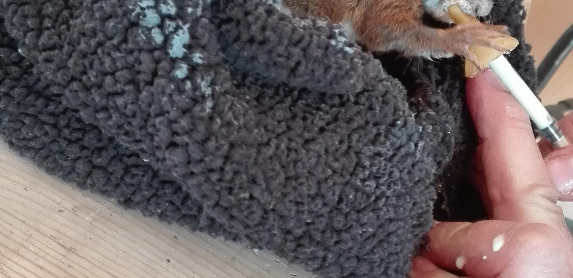 Biberonnage d'un bébé écureuil
