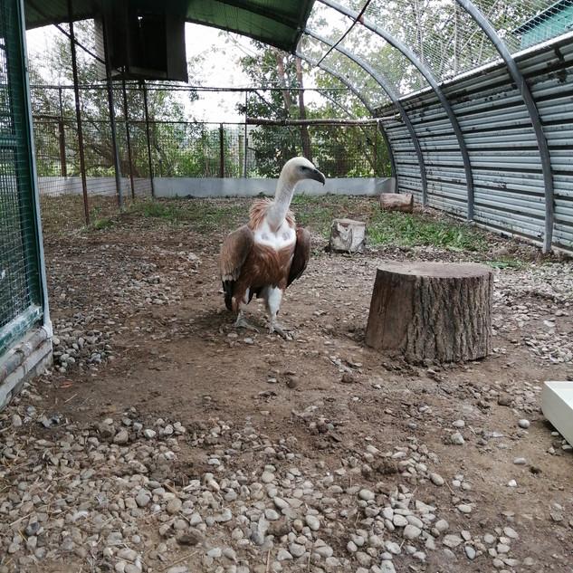 Volière réaménagée pour le vautour