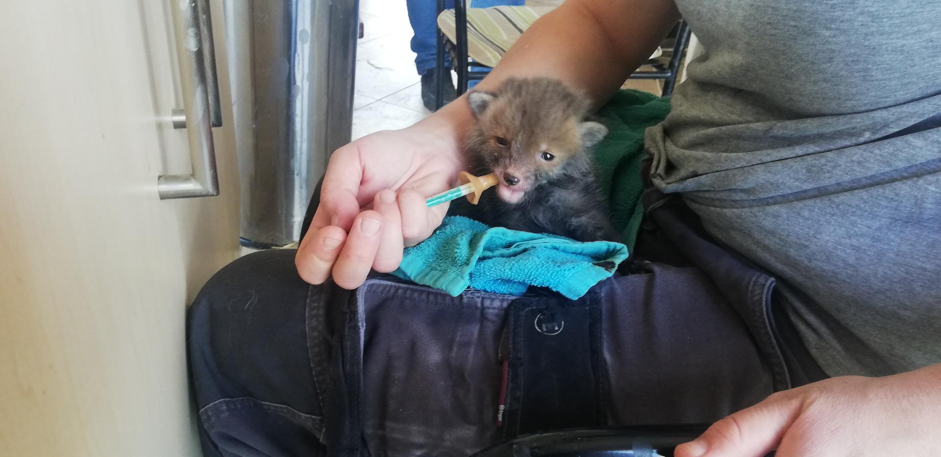 Weasel feeding