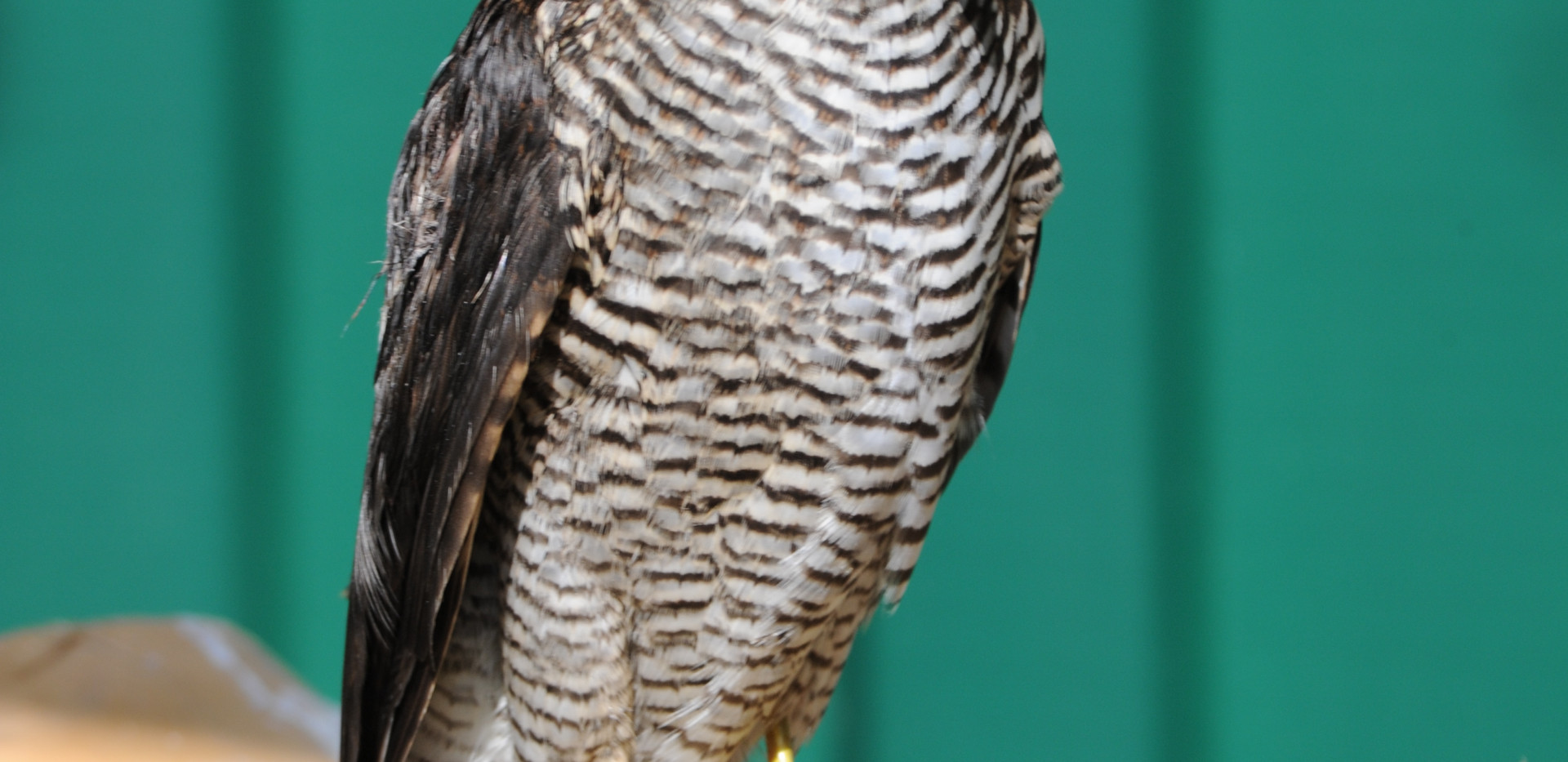 European hawk