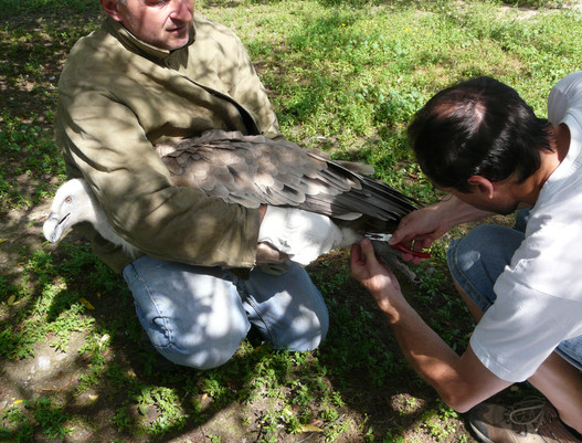 Baguage d'un vautour fauve