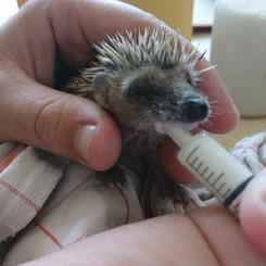 Hedgehog bottle