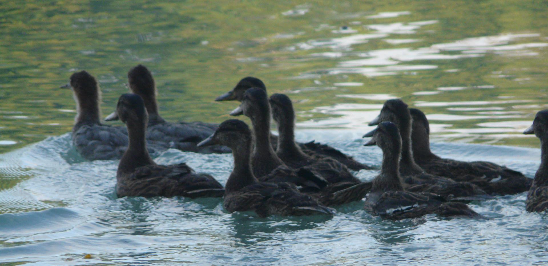 Relâché de canards colverts