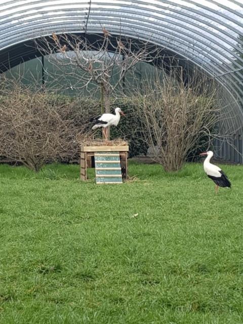 Cigognes handicapées dans leur nid