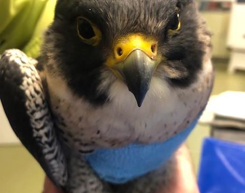 Faucon pèlerin blessé à l'aile