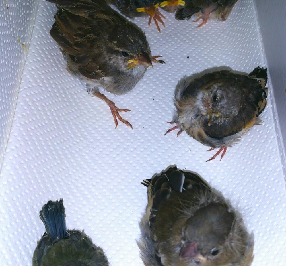 Oisillons tombés du nid