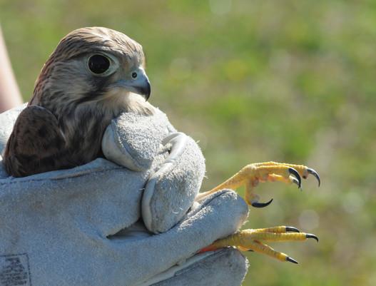 Relâché de faucon crécerelle