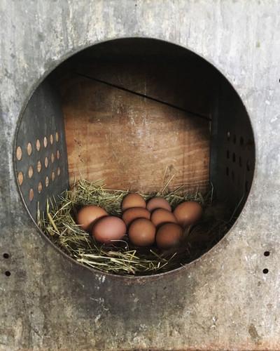 eggs in nesting box.JPG