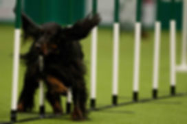 One of our team dogs competing at Crufts in the UK - representing NZ
