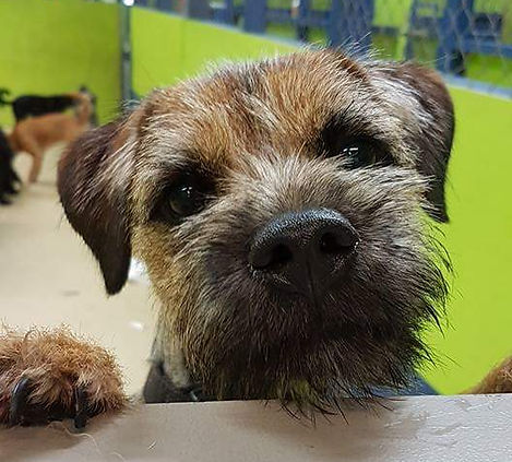 Curious Border Terrier