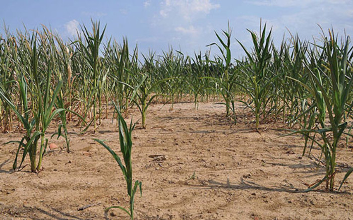 Sử dụng phân hóa học quá liều lượng làm đất hóa sét, chai cứng, rễ cây không phát triển