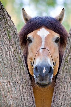 horse between trees med