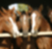 Young and beautiful horses in a stable.j
