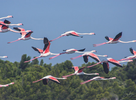 Jour 34 - Flamands roses - wild LEUCATE sauvage
