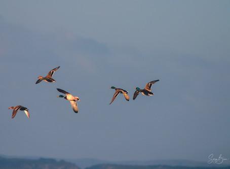 Jour 36 - Canards Colvert - wild LEUCATE sauvage