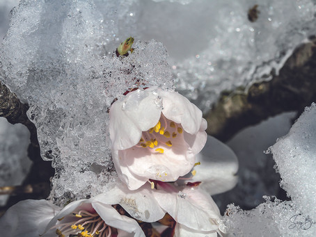 Jour 44 - Fleurs de glace - wild LEUCATE sauvage