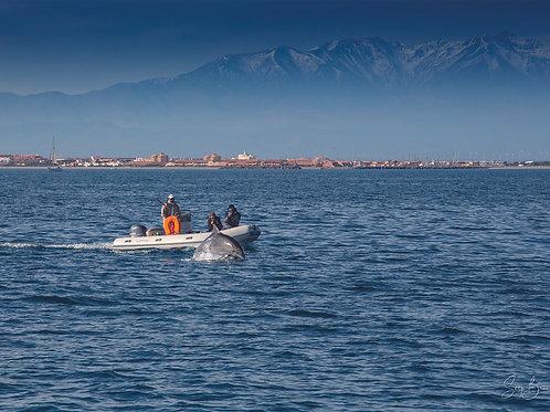 Grand dauphins devant le Port de Leucate, derrière : le Canigou