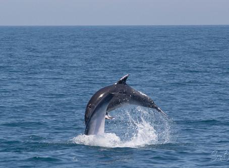 1ère sortie après le confinement, les dauphins sont là...