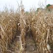 FFA Corn Maze