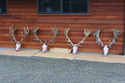 Lodge Stags