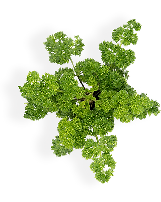 curled_parsley_shadow.png