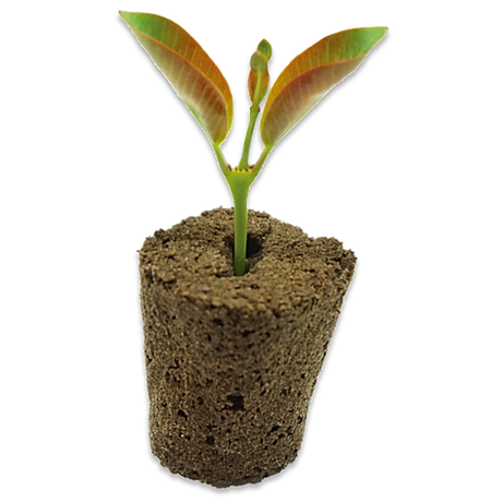 coconut cone with germinated plant