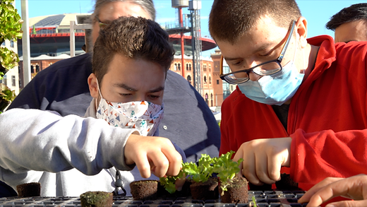 Tres chicos de la Residència Tres Pins para personas con diversidad funcional, transplantando escarolas de la jardinera a la torres Groots.