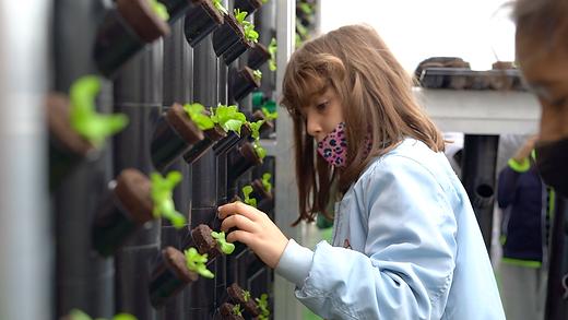 Una estudiante de tercero de primaria del Colegio Francesc Macià de Barcelona, transplantado de la jardinera a la torre un brote de lechuga salanova.