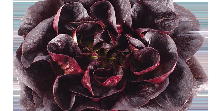 Salanova Red Lettuce