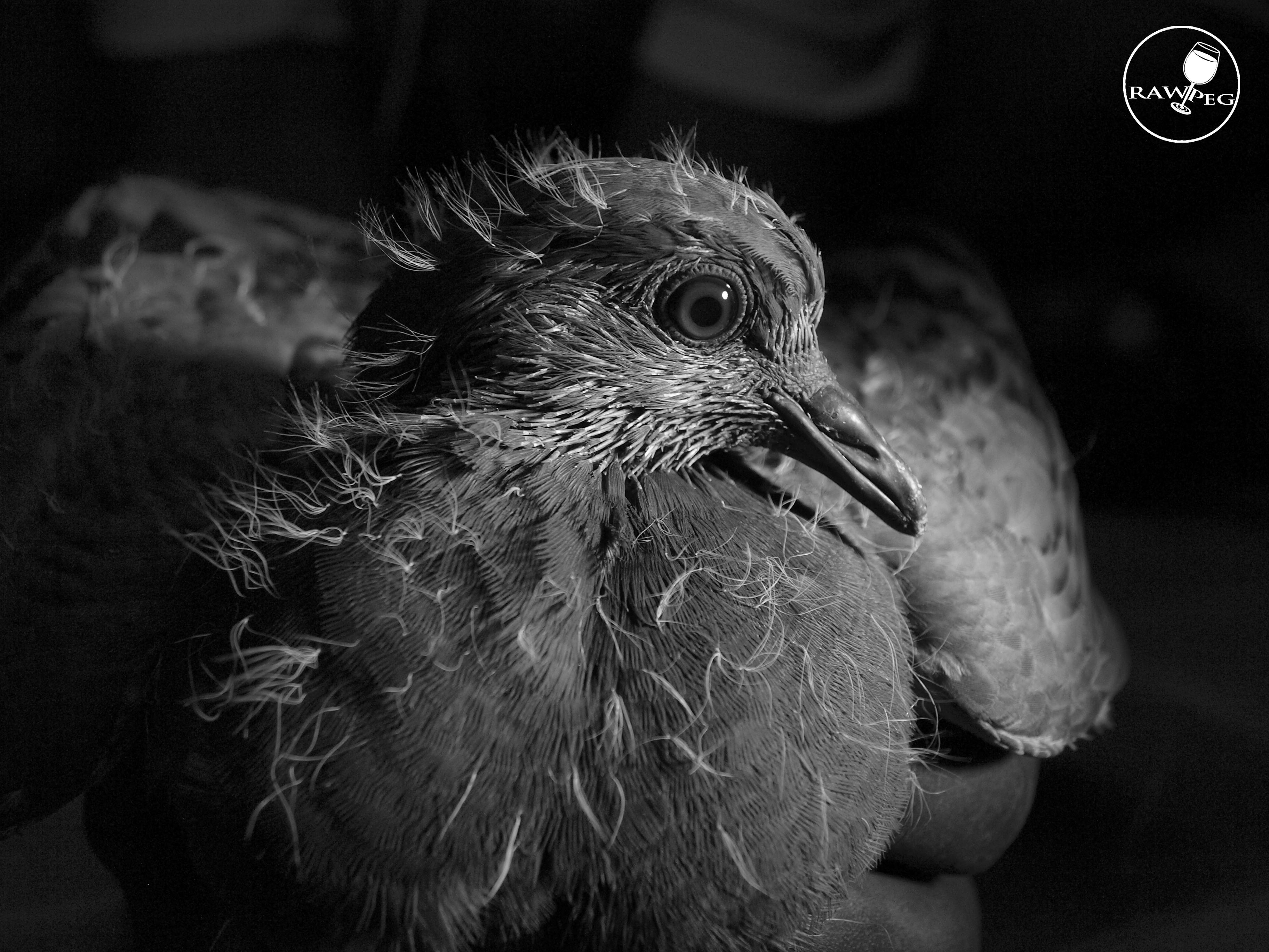 #rawpegstudio#bird#pigeon