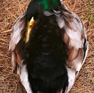 Duck, Gold Beak