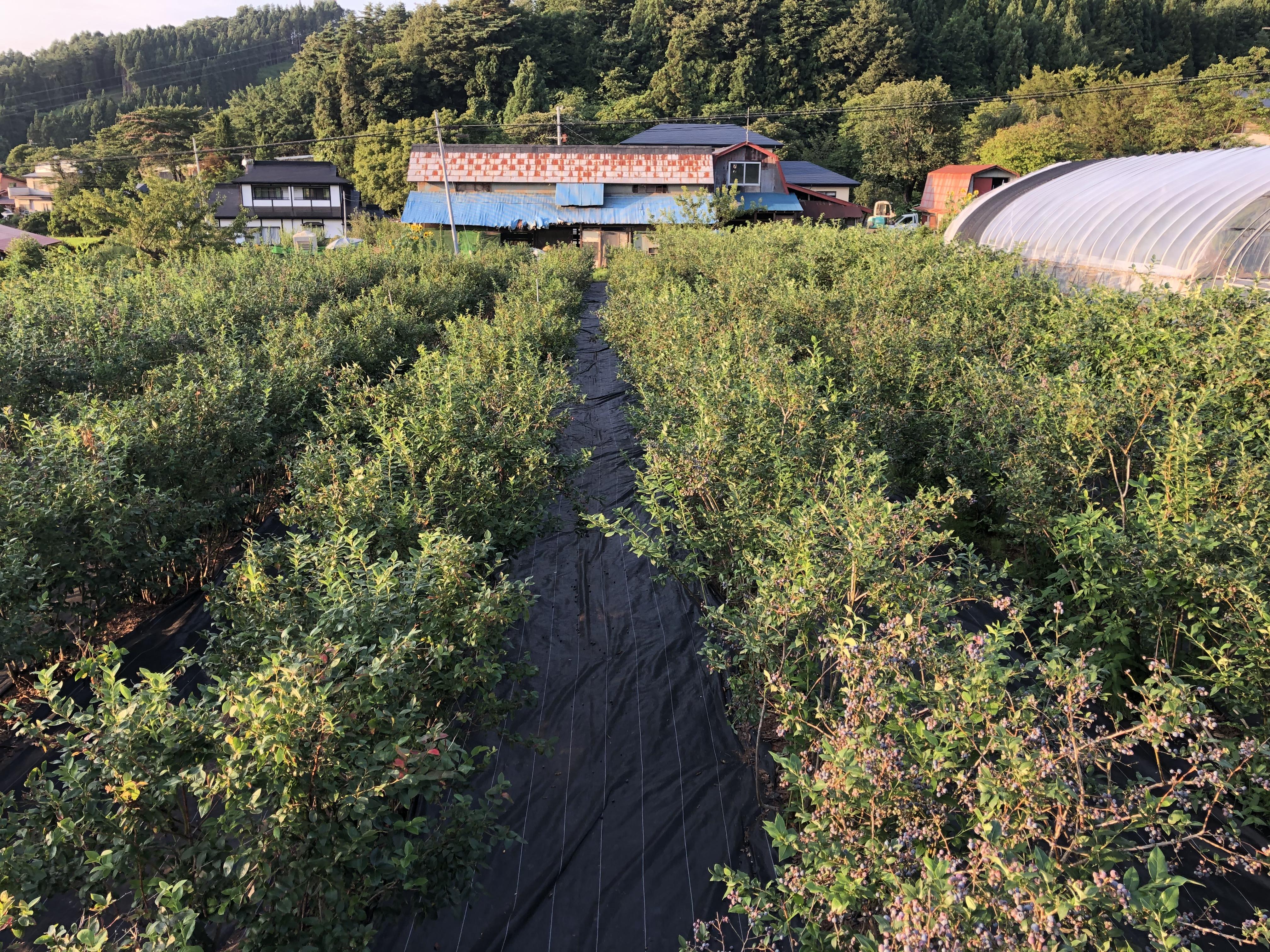 ブルーべりー畑