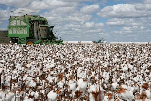 Conventionally grown cotton