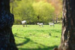Downs Lambs